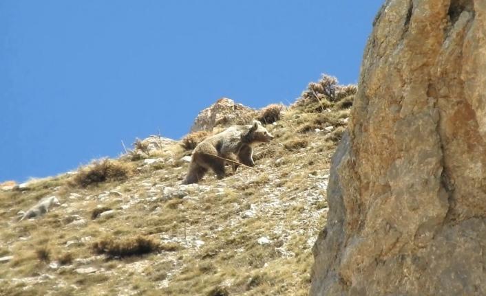 (ÖZEL) Anne ayı küçük yavrusunu erkek ayıdan korumak için kayalıklara çıktı