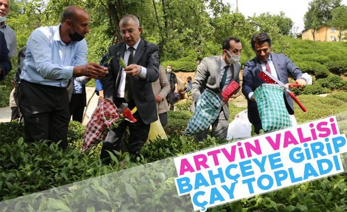 Artvin Valisi Doruk, çay bahçesine girdi çay topladı