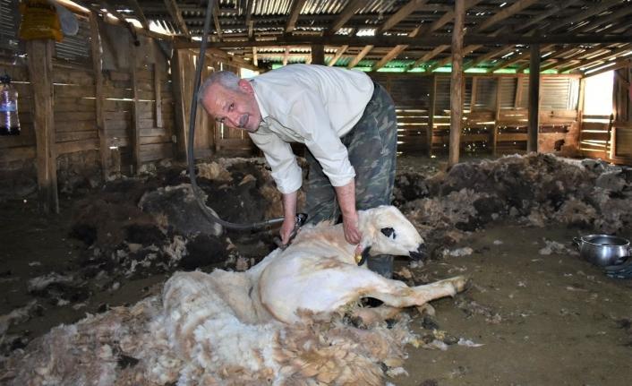 Bayburt'ta havaların ısınmasıyla birlikte besiciler, koyun kırkma işlemine devam ediyor
