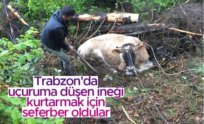 Trabzon'da uçuruma düşen ineği kurtarmak için seferber oldular
