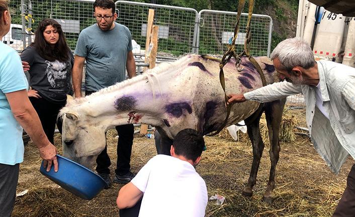 Hopa'da bir tır dorsesinde ölüme terk edilen atlar için gönüllüler seferber oldu