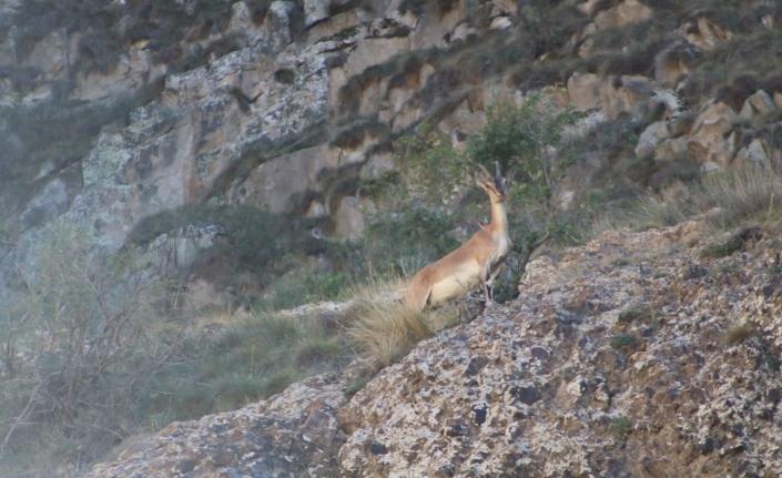 Erzurum'da yaban keçisi sürüsü görüntülendi