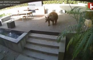 Eve giren dev ayıyı küçük köpekler kovaladı